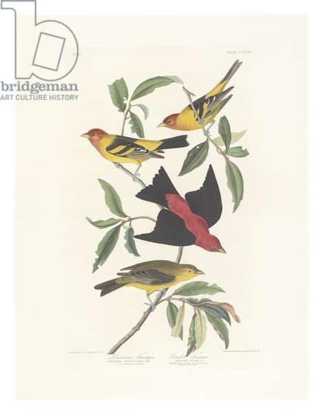 Louisiana Tanager, Scarlet Tanager, illustration from 'The Birds of America', engraved, printed and coloured by Robert Havell (1793-1878), 1837 (hand-coloured litho)