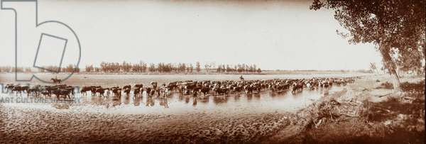 Throwing the Herd on Water, Big Dry, Montana, c.1886 (b/w photo)