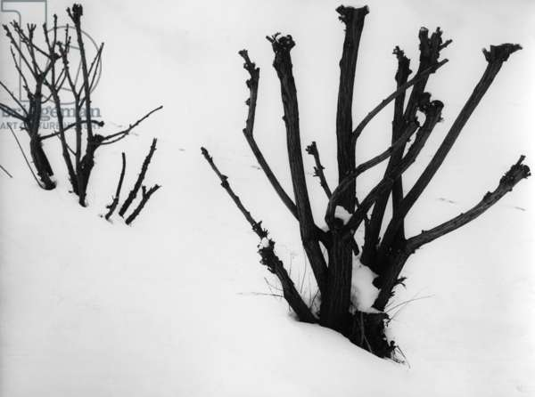 Bushes in winter (b/w photo)