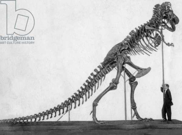 Skeleton of a tyrannosaur, 1924