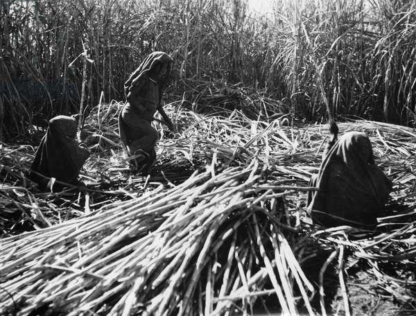 Sucarcane harvest in India, 1936 (b/w photo)