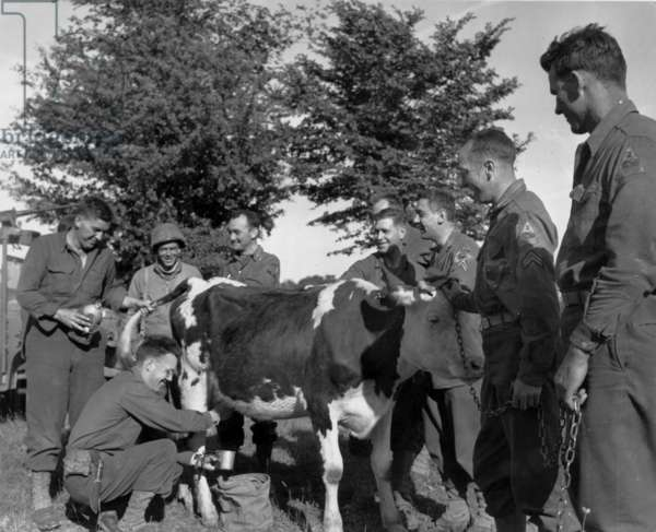On june 17, 1944, in liberated Normandy (France) american soldiers drawing the milk from a cow, photo NARA