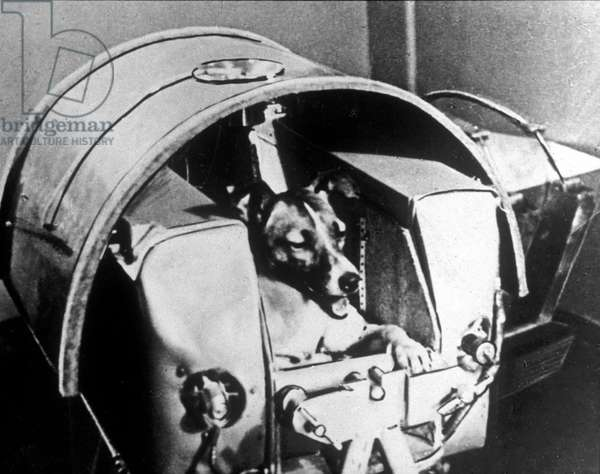 Laika, russian fox terrier dog, is put in hermetic cabin before be put in satellite Sputnik 2 which will be launched on november 3, 1957