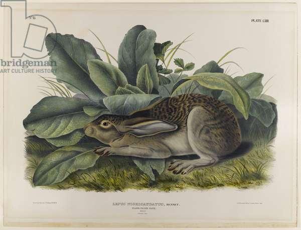Black-tailed hare (colour litho)