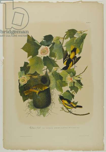 Baltimore Oriole, printed by Julien Bien and published by Roe Lockwood & Son, 1861 (chromolithograph)