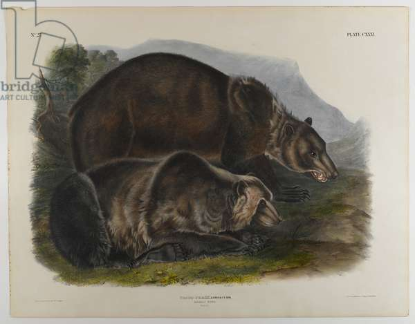 Grizzly bear (colour litho)