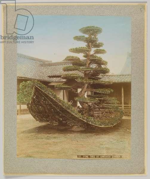 Pine Tree at Kinkakuji Garden, Kyoto, Japan (hand-coloured b/w photo)
