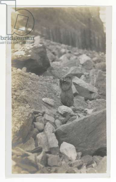 Untitled (A Marmot Standing in a Rocky Area), c.1900 (gelatin silver print)