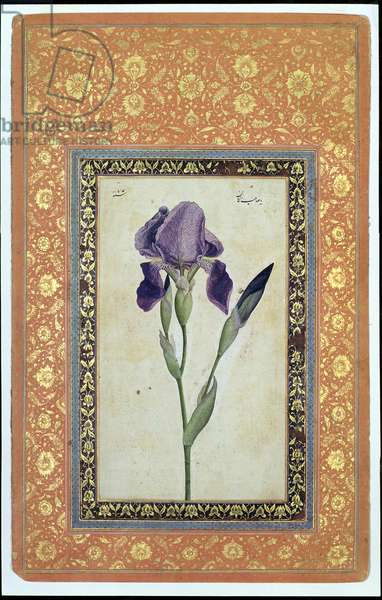 Blue Iris, 1663-64 (opaque w/c and ink on paper)