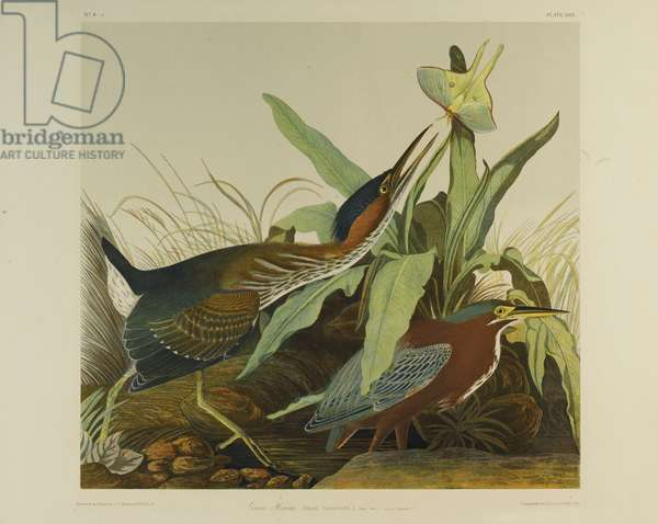 Green Heron, printed by Julien Bien and published by Roe Lockwood & Son, 1861 (chromolithograph)