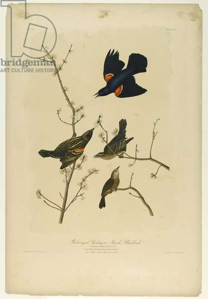 Red-winged Starling or Marsh Blackbird, printed by Julien Bien and published by Roe Lockwood & Son, 1861 (chromolithograph)