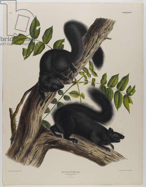 Black squirrel (colour litho)