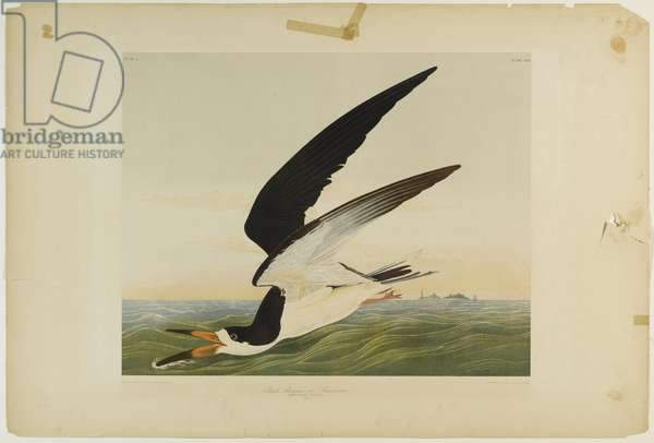 Black Skimmer or Shearwater, printed by Julien Bien and published by Roe Lockwood & Son, 1861 (chromolithograph)