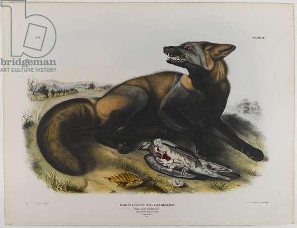 American cross fox (colour litho)