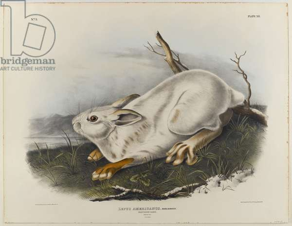 Northern hare (winter pelage) (colour litho)