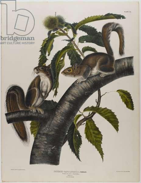 Carolina grey squirrel (colour litho)