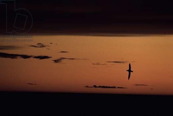 Black Browed Albatross at sunset, November 2006 (photo)