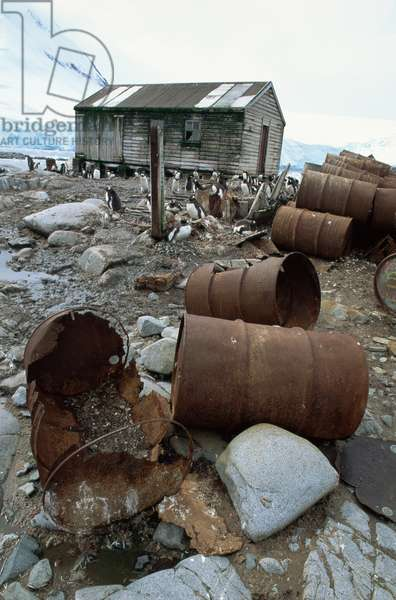 Gentoo penguins with old oil drums at an abandoned scientific base (before clean up), January 1992 (photo)