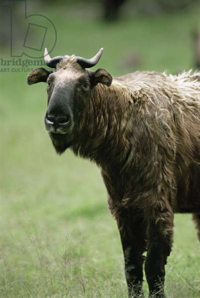 Takin, golden fleece cow (photo)