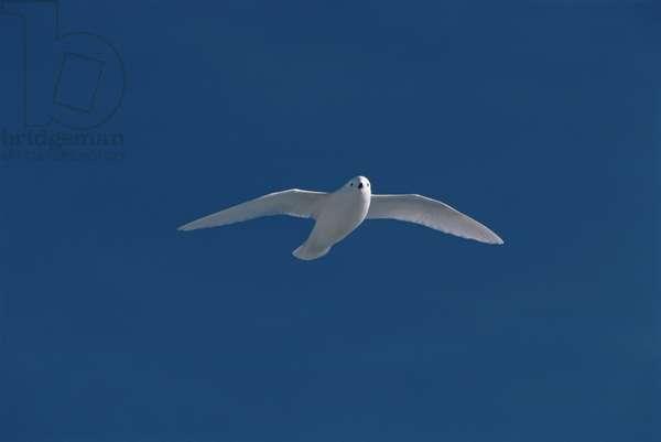 Snow Petrel flying (photo)