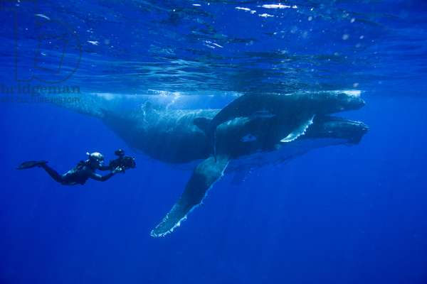 Doug Allan filming a humpback whale mother and calf, during filming for 'Planet Earth', September 2005 (photo)