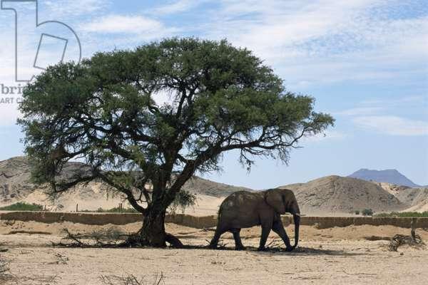 Desert elephants, November 1998 (photo)