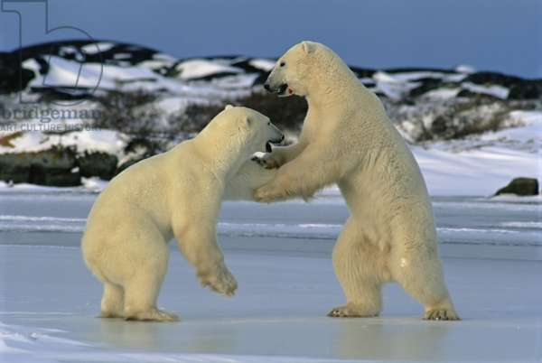 Male polar bears test each other's strength before freeze up (photo)