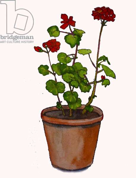 Geraniums in a flowerpot,2019,(watercolour)