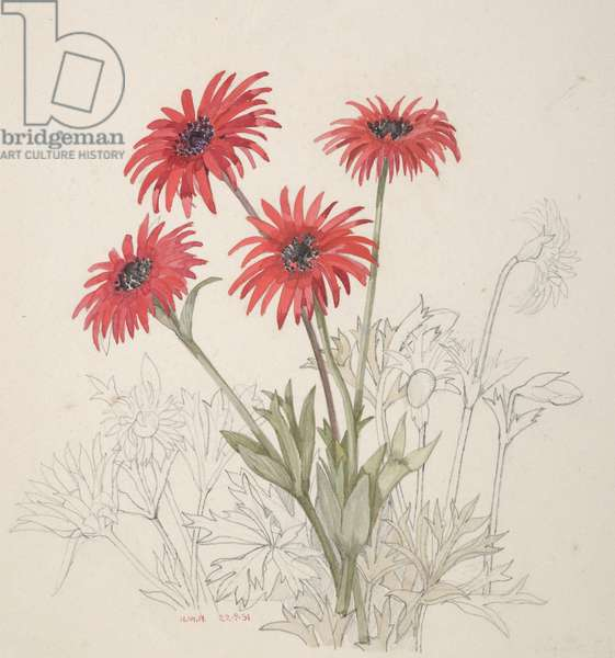 Ranunculaceae, Anemone fulgens, 1951 (w/c on paper)