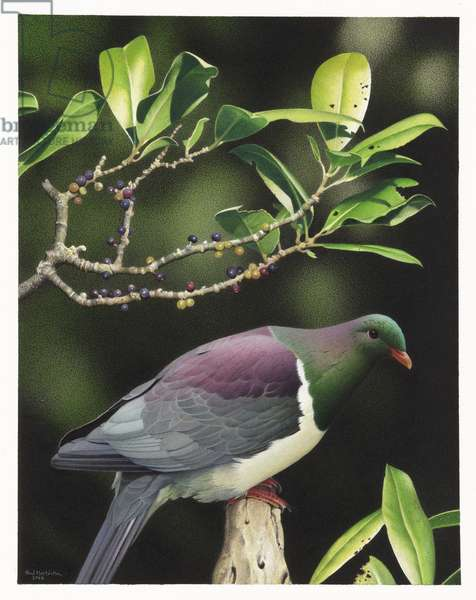 Norfolk Island Pigeon, illustration from the series 'Extinct Birds of New Zealand' (colour litho)