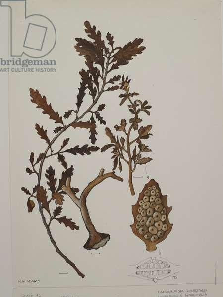 Cystoseiraceae, Landsburgia quercifolia and L. myricifolia,  (w/c on paper)