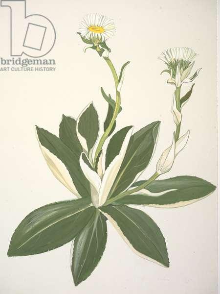 Asteraceae, Celmisia dallii, 1969 (w/c on paper)