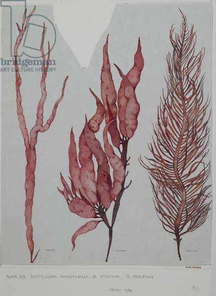 Red seaweeds, Plate 69, Grateloupia,  (w/c and graphite pencil on paper)