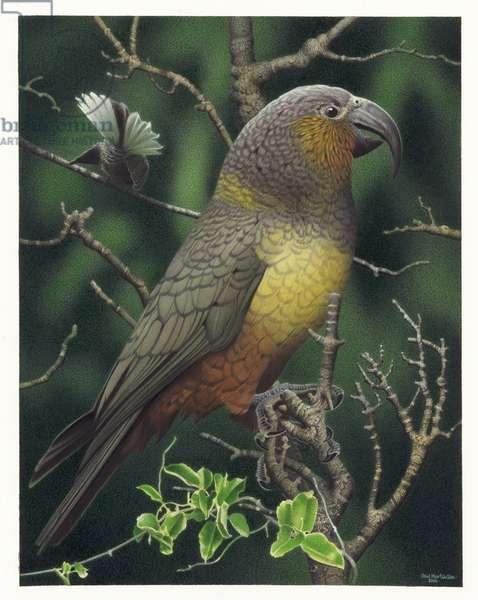 Norfolk Island Kaka, illustration from the series 'Extinct Birds of New Zealand' (colour litho)
