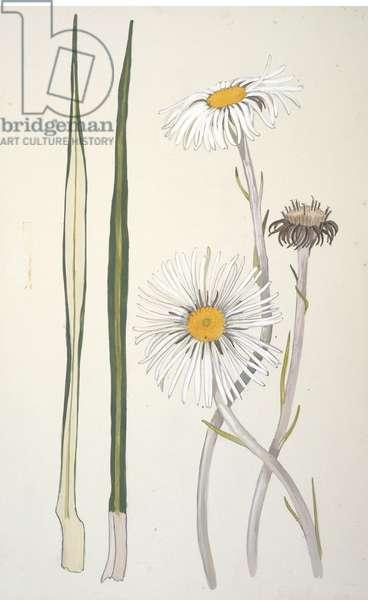 Asteraceae, Celmisia petriei, 1969 (w/c on paper)
