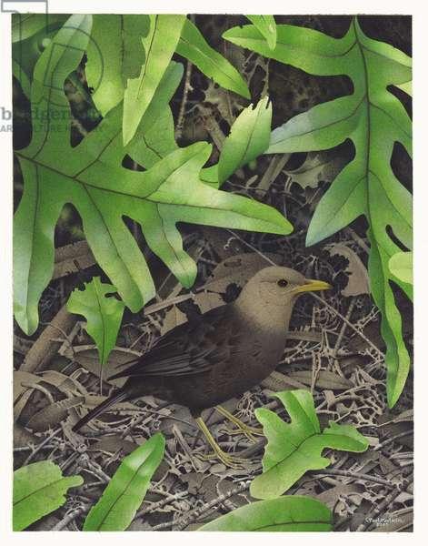 Grey-headed Blackbird, illustration from the series 'Extinct Birds of New Zealand' (colour litho)
