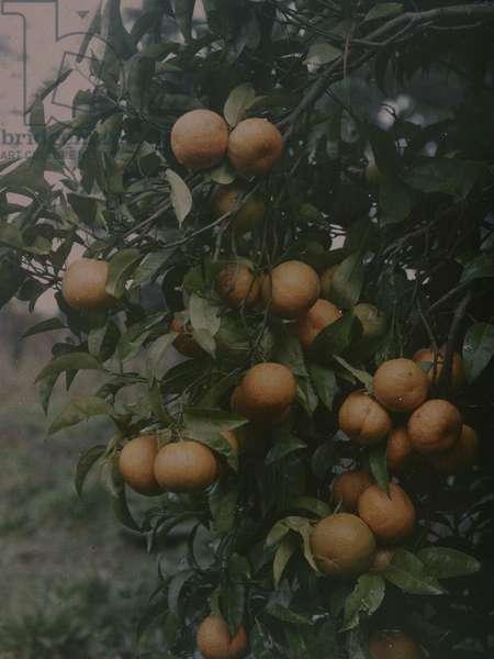 Oranges at Takapuna, 1914 (photo)