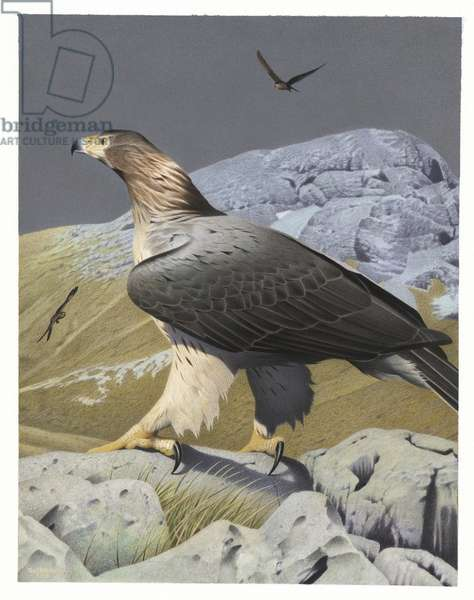 Haast's Eagle, illustration from the series 'Extinct Birds of New Zealand' (colour litho)