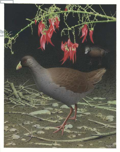 Hodgens' Waterhen, illustration from the series 'Extinct Birds of New Zealand' (colour litho)