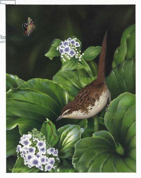 Chatham Island Fernbird, illustration from the series 'Extinct Birds of New Zealand' (colour litho)