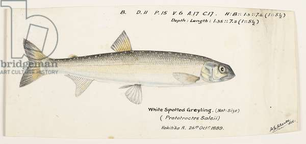 Prototroctes oxyrhynchus (White spotted greyling), 1889 (w/c and graphite pencil on paper)