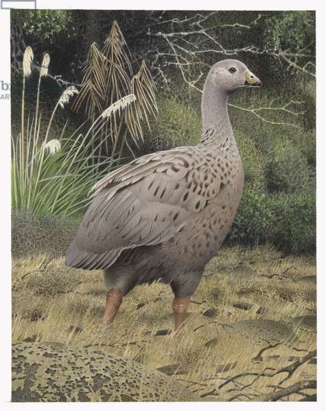 North Island Goose, illustration from the series 'Extinct Birds of New Zealand' (colour litho)
