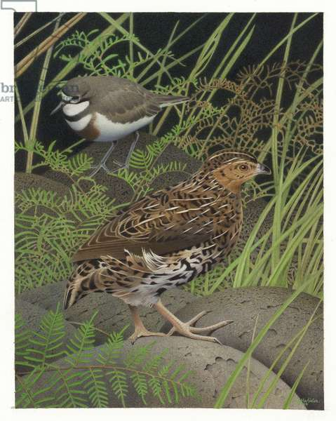 New Zealand Quail, illustration from the series 'Extinct Birds of New Zealand' (colour litho)