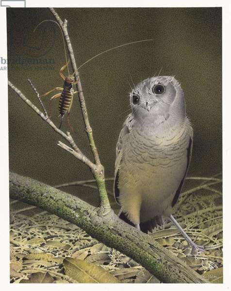 New Zealand Owlet-nightjar, illustration from the series 'Extinct Birds of New Zealand' (colour litho)