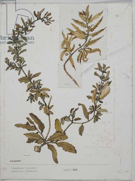 Brown Seaweed, Sargassaceae, Sargassum sinclairii and S. scabridum,  (w/c on paper)