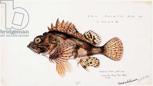 Scorpaena cardinalis  ( Red Scorpion fish), 1874 (w/c and graphite pencil on paper)