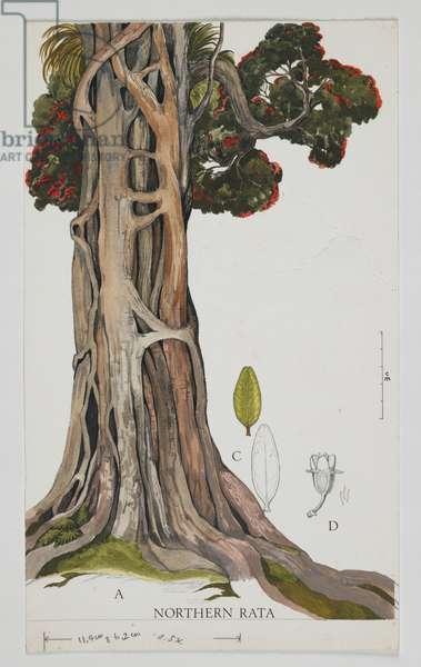 Myrtaceae, Metrosideros robusta,  (w/c and graphite pencil on paper)