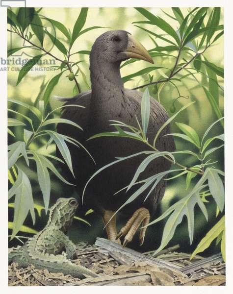 North Island Adzebill, illustration from the series 'Extinct Birds of New Zealand' (colour litho)