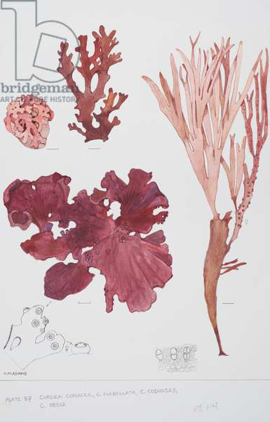 Red seaweeds, Plate 57, Curdiea,  (w/c and graphite pencil on paper)