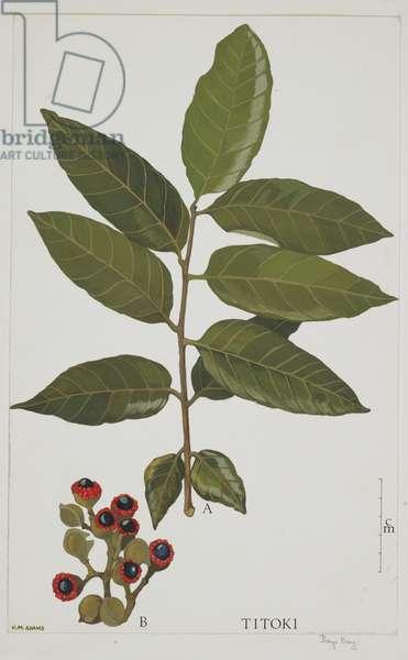 Sapindaceae, Alectryon excelsus,  (w/c on paper)